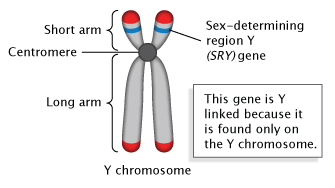 A schematic illustration in panel A shows a Y-chromosome made up of two sister chromatids. Important structures and the SRY gene are labeled. The sister chromatids look like vertically-aligned grey noodles arranged beside each other in parallel. They are attached at a point slightly above their center by a dark grey circle, representing the centromere. The upper portion of both chromatids (above the centromere) are labeled as the chromosome's short arm; the lower portion of both chromatids (below the centromere) are labeled as the chromosome's long arm. Two blue bands on the short arm chromatids represent the sex-determining region Y (SRY) gene. A textbox explains that this gene is considered Y-linked because it is found only on the Y-chromosome.