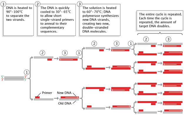 a schematic diagram shows dna copied via a polymerase chain reaction in  three basic steps,