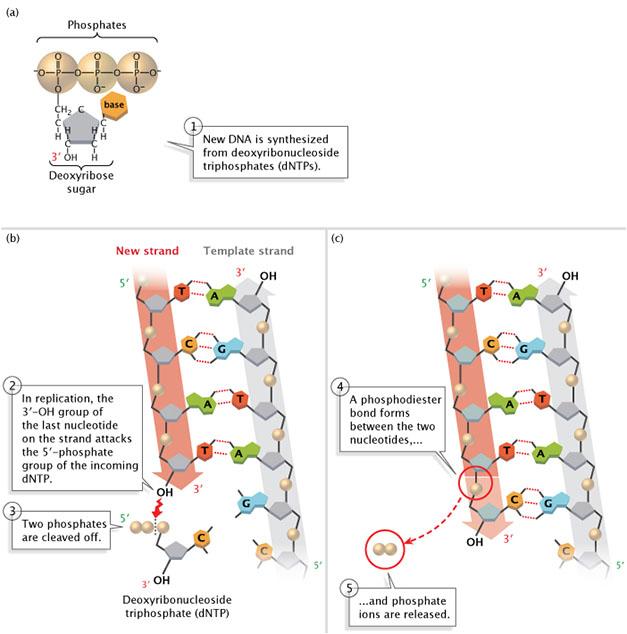 DNA replication of eukaryotes  4609_91