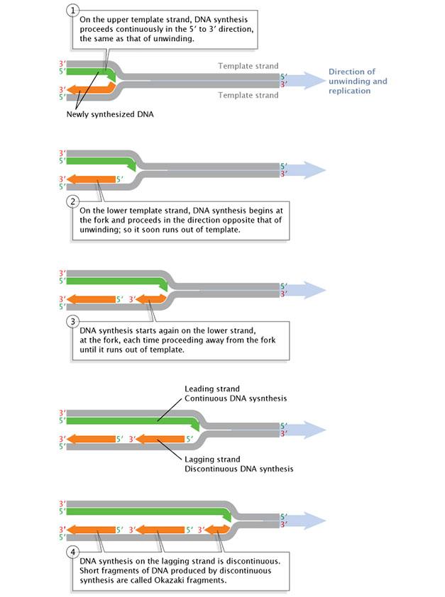 DNA replication of eukaryotes  35272_92