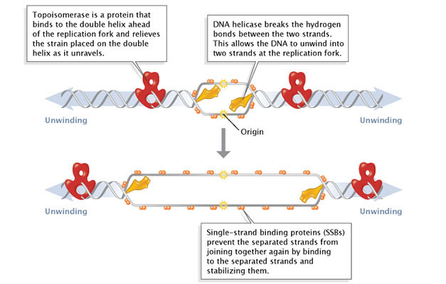 Major Molecular Events Of Dna Replication Learn Science At Scitable