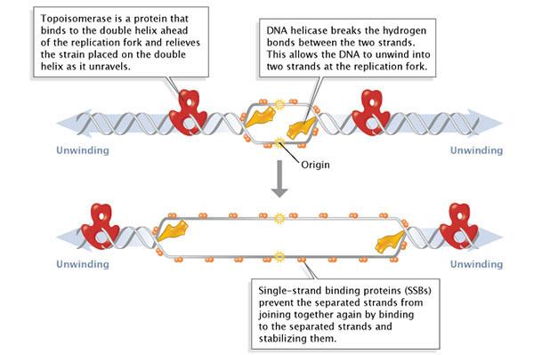 DNA replication of eukaryotes  4699_90