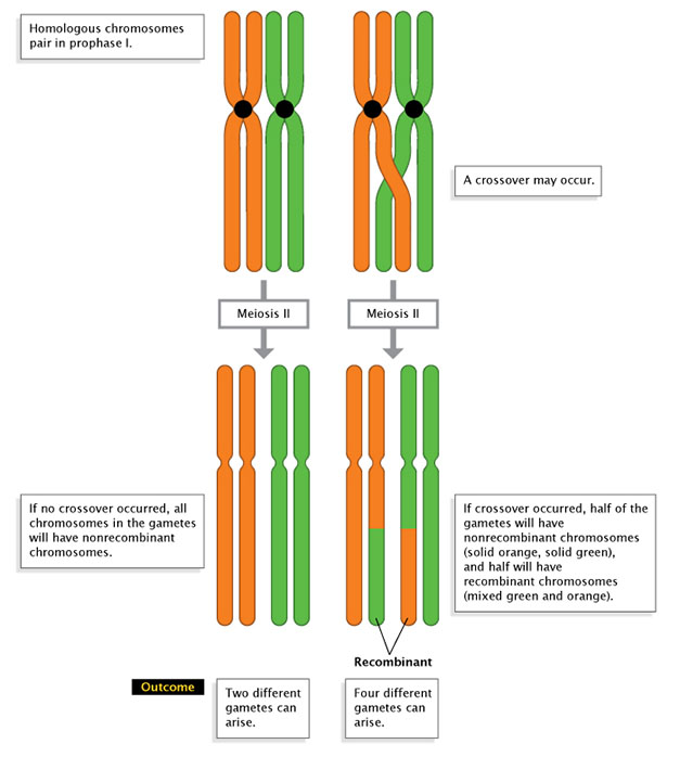 A two-part schematic shows allele combinations on chromosomes following meiosis two. Crossing over does not occur between the chromosomes shown on the left side of the diagram. Crossing over does occur between the chromosomes shown on the right side of the diagram. In both scenarios, two sets of homologous chromosomes are shown: the first set is orange, and the second set is green. The chromosomes are shown before and after meiosis two has occurred, illustrating how each is affected by the presence or absence of a cross-over event.
