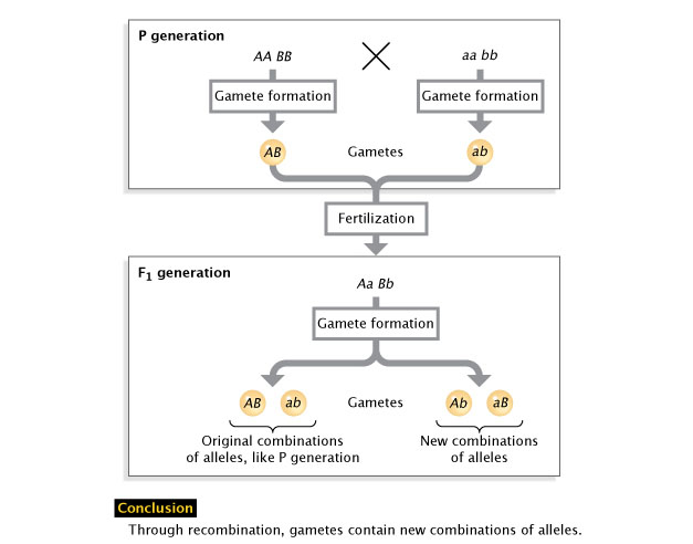 Genetic recombination and gene mapping learn science at scitable a diagram outlines a genetic cross between two organisms beginning with the formation of gametes ccuart Image collections