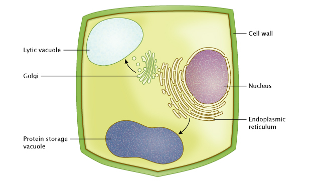 Plant vacuole stomata learn science at scitable a schematic diagram of a single plant cell shows how proteins are transferred to vacuoles through ccuart Image collections