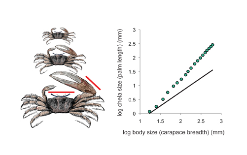 The allometric relationship between chela (claw) size and body size in growing male fiddler crab (Uca pugnax)