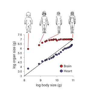 The brain and heart grow at different rates relative to the body.