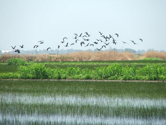 A flock of Ibis visits a flooded rice field in California