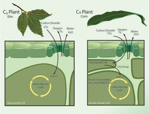 Each plant species utilizes one of several distinct physiological variants of photosynthesis mechanisms, including the variants known as C3 and C4 photosynthesis.