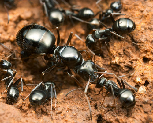 Social Parasitism In Ants Learn Science At Scitable