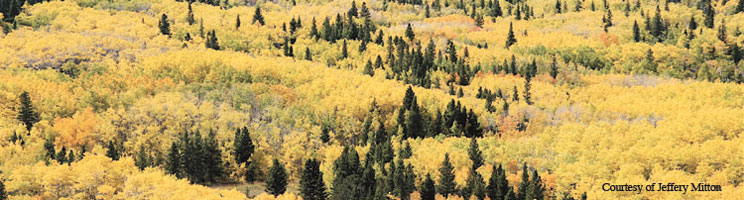 Case Study: The Glorious, Golden, and Gigantic Quaking Aspen | Learn Science at Scitable