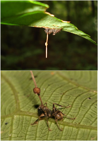 How Fungus Makes Ant Zombies | Accumulating Glitches | Learn Science at Scitable