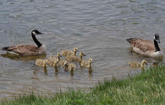 canada goose adaptations