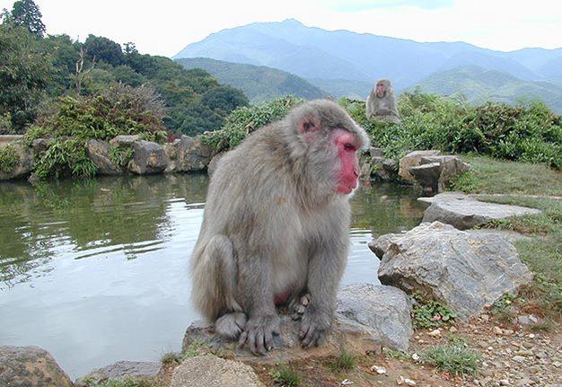 Anese Macaques Em Macaca Fua On Mount Arashiyama