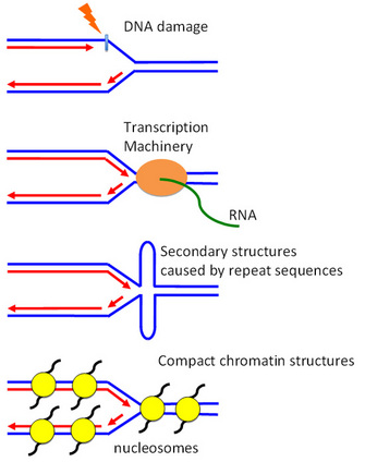Dna replication checkpoint dna synthesis learn science at scitable a schematic diagram shows four obstacles on dna that obstruct replication dna damage transcription pronofoot35fo Image collections