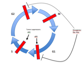 Cell cycle control oncogenes tumor suppressors learn science a circular diagram of the cell cycle is composed of four blue curved arrows ccuart Image collections