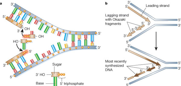 Dna replication s phase checkpoint control learn science at scitable the dna replication process is shown in a two part schematic diagram in panels a ccuart Gallery