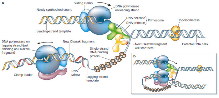 Dna Replication Protein Dna Replication Fork