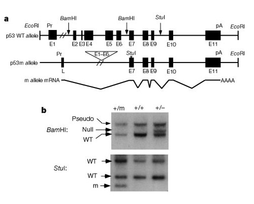 In panel A, two gene map diagrams show the truncated structure of the p53 mutant allele compared to the p53 wild-type allele. Alleles are depicted as horizontal lines. Solid black squares and rectangles along the line represent exons. A Southern blot diagram is shown in panel B.