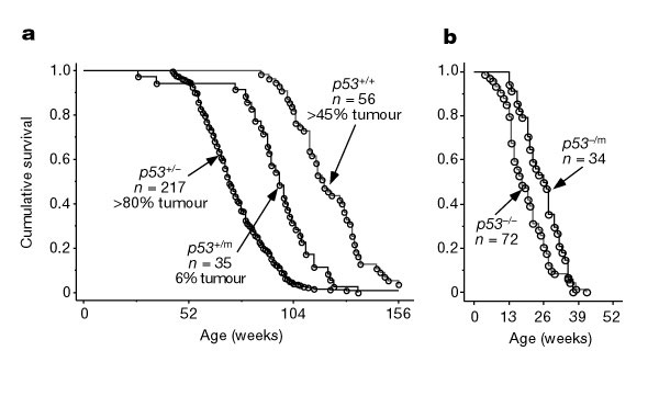 Two survival curves are shown side-by-side in panels A and B. Age (in weeks) is shown on the X-axis, and cumulative survival (as a value between 0 and 1.0) is shown on the Y-axis. Three plots are shown in panel A: data plotted for p53 wild-type mice, mice with a truncated p53 gene, and mice lacking a p53 gene. As wild-type mice age from approximately 104 weeks to 156 weeks old, the ratio of individuals surviving in the population decreased exponentially from 1.0 to 0. Mice with a truncated p53 gene experienced an exponential decrease in cumulative survival between 78 and 130 weeks. Mice lacking a p53 gene experienced an exponential decrease in cumulative survival between 52 weeks and 104 weeks. In panel B, the development of cancer for p53 mutant and deficient mice is shown. p53 mutant mice develop cancer starting around 15 weeks, and all mice have cancer by 41 weeks. p53-deficient mice develop cancer starting at 4 weeks, and all mice have cancer by 39 weeks.