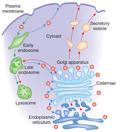 A schematic shows a portion of a cell with the endoplasmic reticulum, Golgi apparatus, and plasma membrane labeled. The activity of lysosomes and secretory vesicles is shown inside the cell with illustrations separated by red, blue, and green arrows. The endoplasmic reticulum is depicted as a membranous network (dark blue) below a similar membranous network representing the Golgi apparatus (light blue). Cargo is shown traveling between the endoplasmic reticulum and the Golgi, and from the Golgi to the outside of the cell via secretory vesicles. Cargo molecules entering the cell from the external side of the plasma membrane are encapsulated by an early endosome, which develops into a late endosome, and then into a lysosome. Cargo molecules are also shown being transported between late endosomes and the Golgi apparatus.