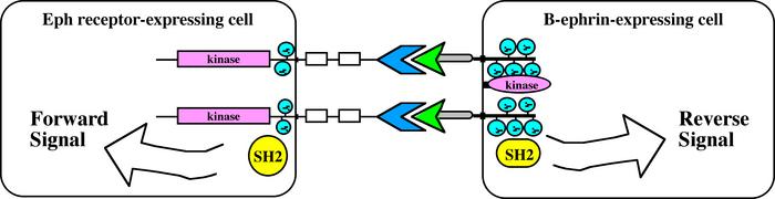 Eph-ephrin bidirectional signaling (2)