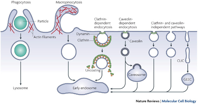 Virus Infection Endocytosis Learn Science At Scitable
