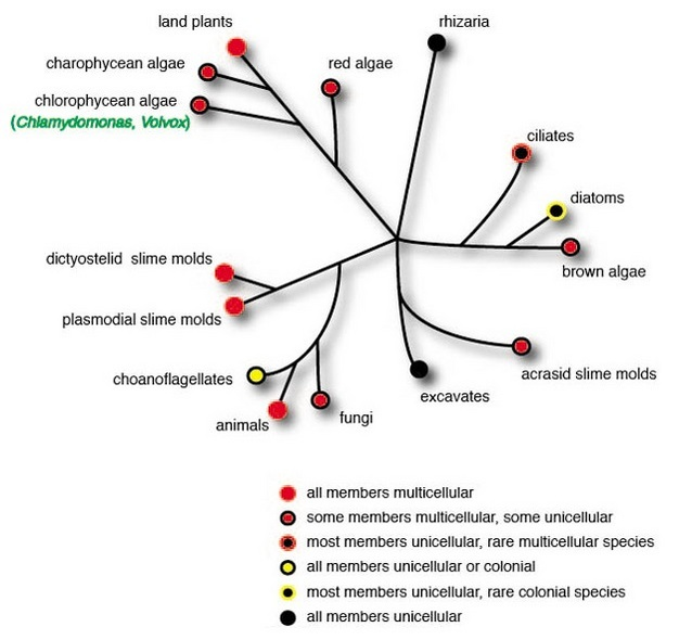 An unrooted phylogenetic tree shows how multicellularity evolved independently in several eukaryotic lineages. The lineages are represented by branching lines. All of the lines are connected and radiate outward from the middle of the diagram. The taxa are represented by circles at the ends of the lines. The color of each circle indicates the taxon's degree of multicellularity.