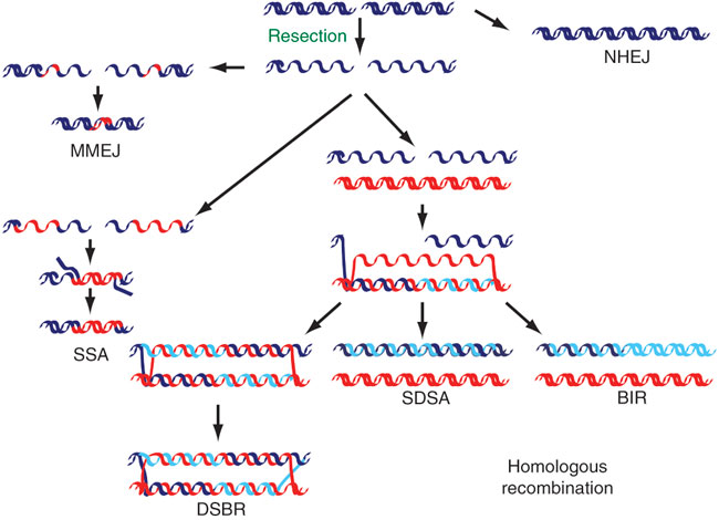 Dna Strand Diagram Another Blog About Wiring Diagram
