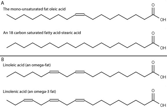 The Structure Of The Fatty Acids Examined Learn Science At Scitable