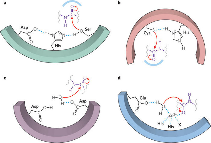 Serine Protease, Enzyme Catalysis | Learn Science at Scitable