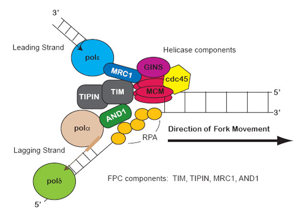 Replication Fork Fork Protection Complex Learn Science At Scitable