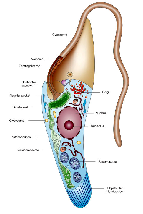 Schematic representation of trypanosomatids. | Learn Science at Scitable
