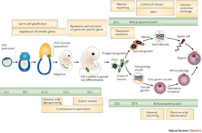 steroidogenic factor 1