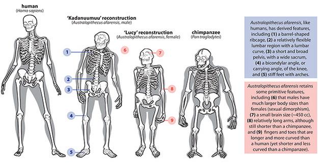 Esqueleto del chimpancé