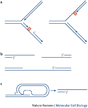 Stalled Dna Replication Fork Learn Science At Scitable