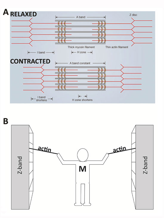 Sliding Filament Theory, Sarcomere, Muscle Contraction