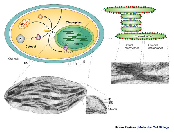 Photosynthesis chloroplast learn science at scitable photomicrographs of chloroplasts with structures labeled are shown alongside a simplified illustration of a photosynthetic cell ccuart Gallery