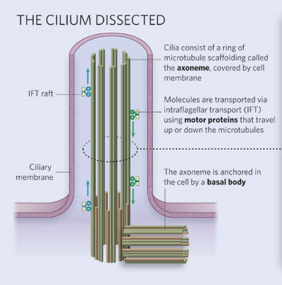 diagram of ciliary structure learn science at scitable : cilia diagram - findchart.co
