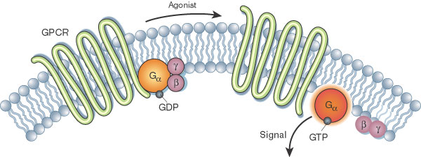 A schematic illustration shows a G-protein-coupled receptor (GPCR) and G-proteins in a plasma membrane, which is composed of phospholipids that form a bilayer. The GPCR and G-proteins are shown before and after stimulation by an agonist.