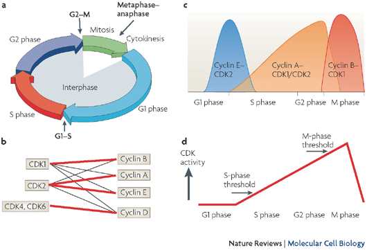Panel A of this four-part illustration shows four color-coded arrows connected end-to-end to form a circle. Each arrow represents a phase of the cell cycle, and the lengths of the arrows correspond to the relative duration of each phase. Smaller, black arrows indicate the three checkpoints in the cell cycle. In panel B, cyclin-dependent kinases (CDKs) and cyclins are represented as rectangles in a conceptual diagram. CDK1, CDK2, CDK4, and CDK6 are arranged in a column at the left, and cyclins A, B, D, and E are arranged in a column at the right. Thick, red lines or thin, black lines connect each kinase to its potential cyclin partners. In panel C, a graph shows the levels of various cyclin-CDK complexes during the four phases of the cell cycle. In panel D, a line graph shows the relative CDK activity level during the four phases of the cell cycle. The minimal levels of CDK activity required to support entry into S phase and entry into M phase are indicated on the graph with arrows.