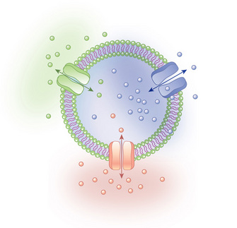 an illustration shows a cross section of a plasma membrane with three  different transport proteins arranged