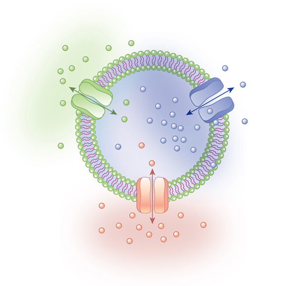 Transport proteins in the cell membrane | Learn Science at Scitable
