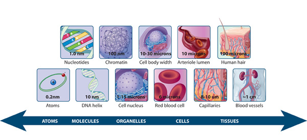 Explain why cell can differ so much in size?