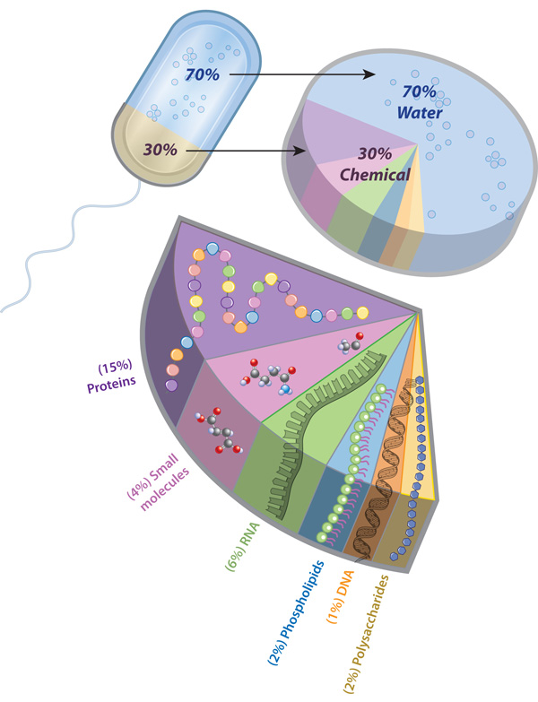 What is a cell learn science at scitable a pie slice diagram shows the proportion of water to typical chemical components in a bacterial ccuart Image collections
