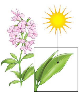 An illustration shows a flowering plant adjacent to the sun. An inset box in the lower left corner shows a close up view of a single leaf. In this box an arrow points from the sun to the leaf's surface.