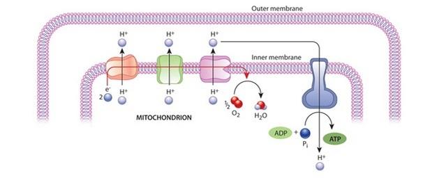 Un diagrama esquemático muestra cómo se genera ATP en las mitocondrias. El diagrama incluye una sección de las membranas interna y externa de una mitocondria, las proteínas de la cadena de transporte de electrones y la ATP sintasa. El flujo de electrones y protones se muestra con flechas, y las reacciones químicas se muestran dentro de la matriz mitocondrial.