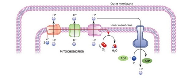 Mitochondria cell energy atp synthase learn science at scitable a schematic diagram shows how atp is generated in mitochondria the diagram includes a section ccuart