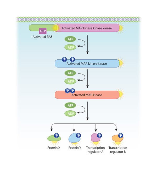 Ras MAP kinase activation: A common pathway activated by growth