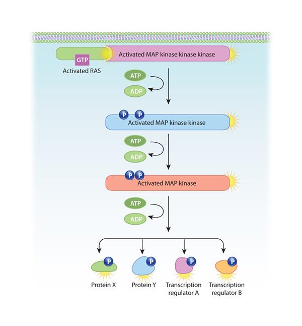 Map Kinase Pathway | World Map 07 on phosphatidylinositol 3-kinase pathway, insulin pathway, jak 1 2 3 signaling pathway, pi 3-kinase pathway, adenylate cyclase pathway, il-6 signaling pathway, thyroid pathway,
